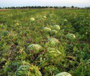 Астраханская бахча и арбузы